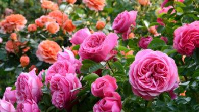 Photo of Розы — как выбрать свою?