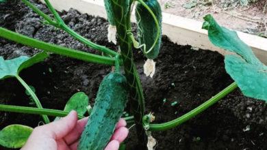 Photo of Сразу вгрунт. Секреты раннего урожая огурцов