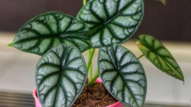 Photo of Алоказия — неимоверно эффектные листья в правильных условиях