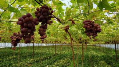 Photo of Как вырастить вкусный и здоровый виноград