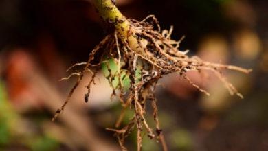 Photo of Стимуляторы корнеобразования растений