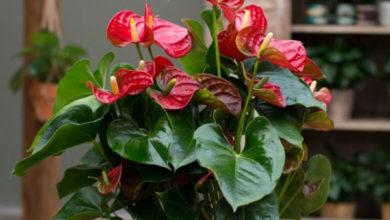 Photo of 10 правил выращивания антуриума для длительного цветения