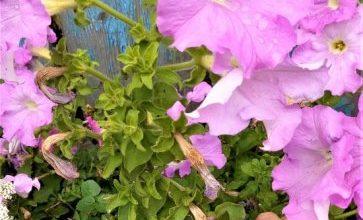Photo of Как обрезать петунию в июле и запустить вторую волну цветения