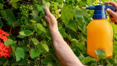 Photo of Как ухаживать за виноградом летом?