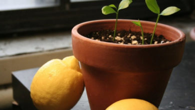 Photo of Выращивание лимонного дерева в домашних условиях