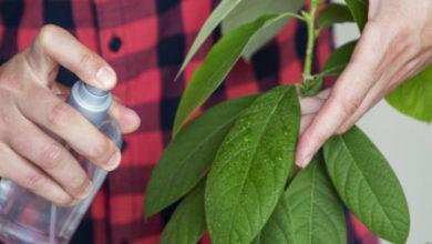 Photo of Комнатное авокадо — тонкости ухода
