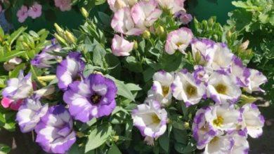 Photo of Красивые однолетние цветы для уличных горшков