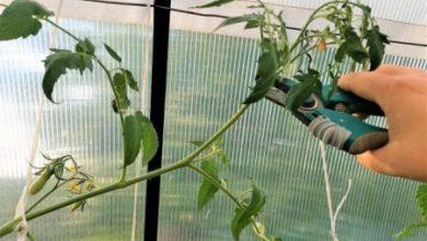 Photo of Как формировать томаты в августе для ускорения созревания плодов и предупреждения болезней
